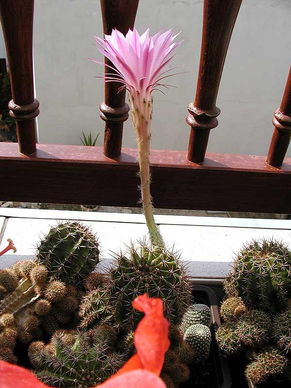 kaktus_c