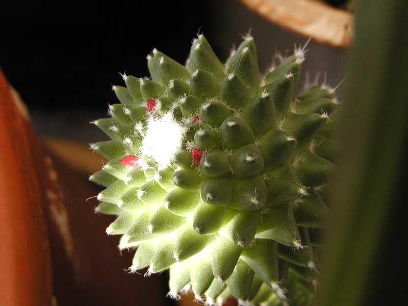 kaktus_d