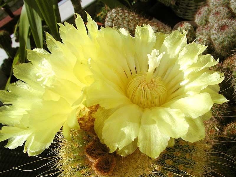 kaktus_f