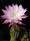 kaktus_a