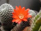kaktus_e